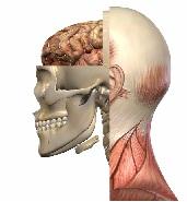 Mandibola e occlusione dentale